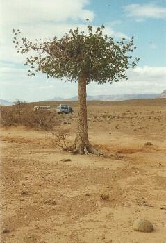 Einzelner Baum im ausgetrockneten Qued